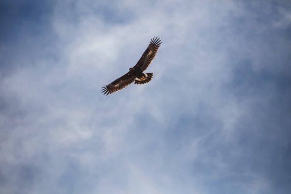 Орел по имени Виктор пролетел над ледниками Альп