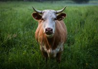 В Японии умерла первая клонированная корова