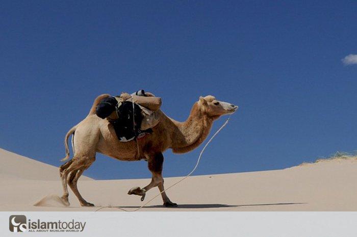 """""""..Уподобил он верующего верблюду"""" (Источник фото: pixabay.com)"""