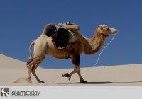 «Поистине, верующий подобен верблюду с кольцом в носу: куда ведут его, туда он и идёт»