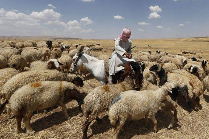 Саудовские компании вложатся в овцеводство Чечни.