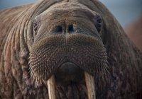 Необъяснимое нашествие моржей зафиксировано на Ямале (ВИДЕО)