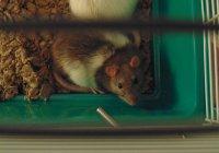 В США крыс научили водить машину