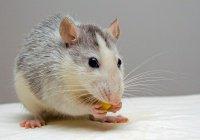 Крыс, диагностирующих рак, научили выявлять еще и туберкулез