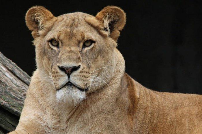 На крыше одного из домов в Эр-Рияде заметили львицу.
