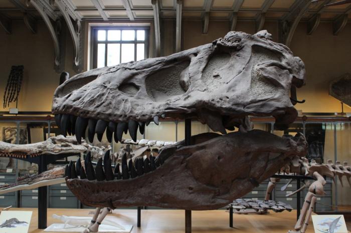 Новый вид, получивший название Vayuraptor, – четырехметровый «дальний родственник» более крупного тираннозавра, жил на территории страны свыше 60 млн. лет назад