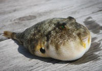 Смертельный токсин рыбы фугу защищает от стресса