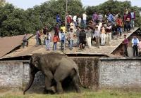 В Индии поймали слона-убийцу по кличке бен Ладен