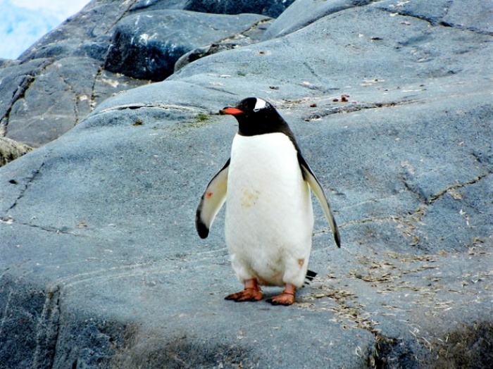 Новая Зеландия – родина гигантских пингвинов