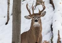 Редчайший трехрогий олень обнаружен в США