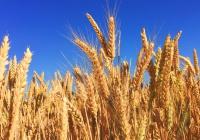 В России создадут зерно для вегетарианцев