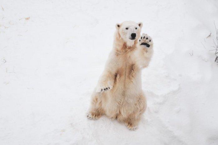 Возле села Рыркайпий в настоящее время находится 56 белых медведей, питающихся тушами моржей, оставшихся с осени