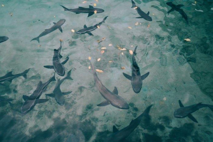 Устройства производят электромагнитные импульсы через небольшие промежутки времени, и чем ближе к «занавесу» подплывают акулы или скаты, тем хуже они себя чувствуют, что побуждает их повернуть обратно
