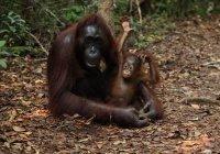 Ученым удалось частично расшифровать язык орангутанов