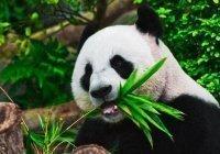 Российские панды номинированы на международную премию