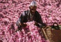 ЮНЕСКО включила Дамасскую розу в список нематериального наследия