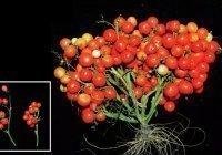 Ученые вывели томатные букеты