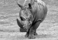 Умерла старейшая самка черного носорога