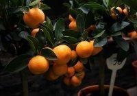 Обнаружена связь между мандаринами и лишним весом