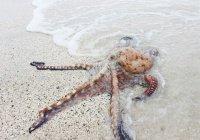 Расшифрован геном таинственного гигантского кальмара