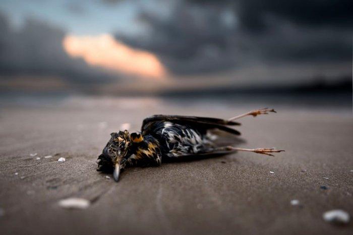 По словам ученых, две трети погибших от голода птиц и морских обитателей были взрослыми особями, и это формирует серьезную угрозу для популяции, так как тормозит последующее размножение данных видов