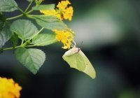 В США выпустили генетически модифицированную бабочку