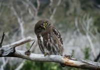Аномально толстая сова обнаружена в Британии