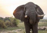 Самый «большой и великолепный» слон умер в Кении