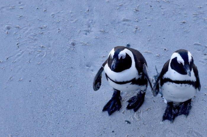 Предполагается, что пингвины имеют 2 черты человеческой речи. Во-первых, они чаще применяют короткие слова. Во-вторых - чем длиннее предложение, тем короче внутри него звуки