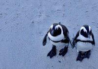 У пингвинов обнаружены черты речи человека