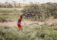 В Африке растет паника из-за нашествия саранчи
