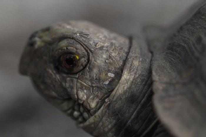 Предполагается, что животное весило примерно 1145 кг, то есть в разы больше крупнейшей из ныне существующих черепах