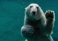 В России посчитают белых медведей