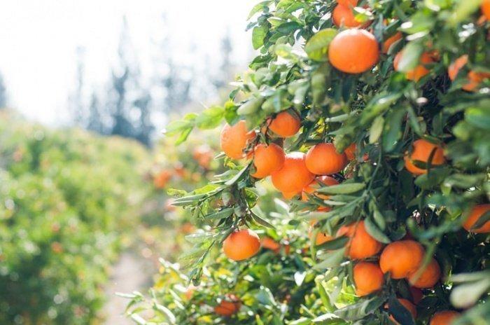 45 тыс. (или 45-130 кг) апельсинов в Севилье остаются непригодными к употреблению и отправляются на свалку