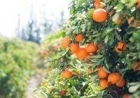 Электроэнергию из апельсинов будут производить в Испании