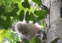 Найден единственный на планете орангутан-альбинос