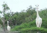 В Кении нашли 2 редких белых жирафов