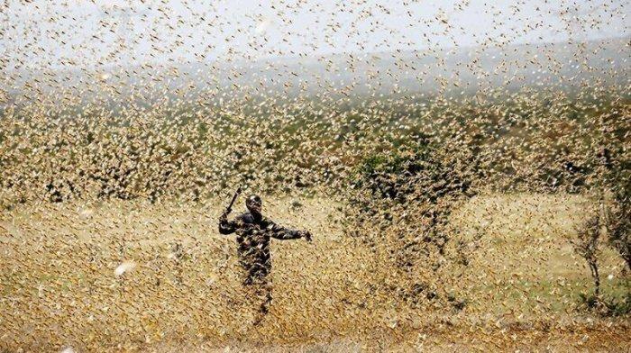 ООн получит от России 10 млн долларов на борьбу с саранчой в Африке.