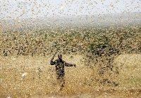 Россия выделит Африке $10 млн на борьбу с нашествием саранчи