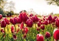 В Нидерландах сделали послание из тюльпанов для туристов