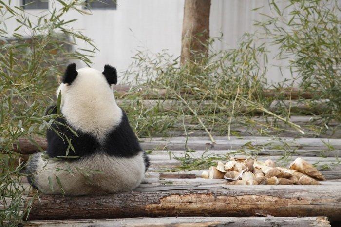 На этой неделе в канадском зоопарке рассчитывают получить разрешение на перевозку панд на родину в Китай