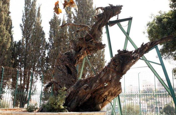 Участок, где находится Мамврийский дуб, не будет передан РПЦ.