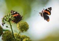 Обнаружено, почему дождь не убивает бабочек