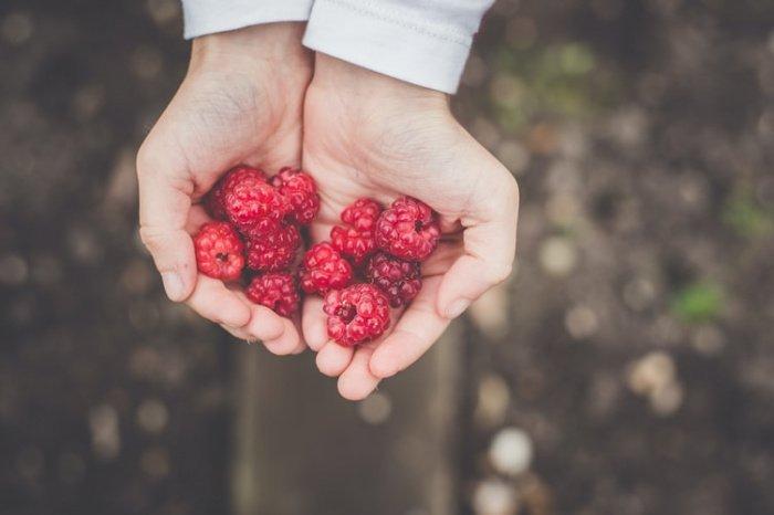 Когда ягода попадает в рот человека, она дезинфицируется слюной, затем дезинфицируется в желудке
