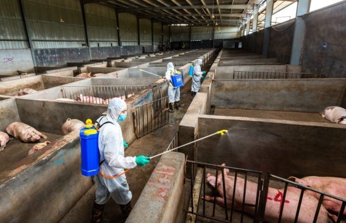 Миллион голов свиней уничтожен в Нигерии из-за АЧС.