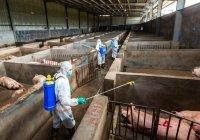 В Нигерии – крупнейшая в мире вспышка африканской чумы свиней
