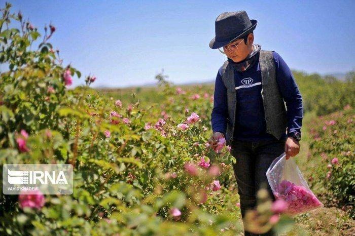 Розовый рай: как собирают цветки для розовой воды в Голестане
