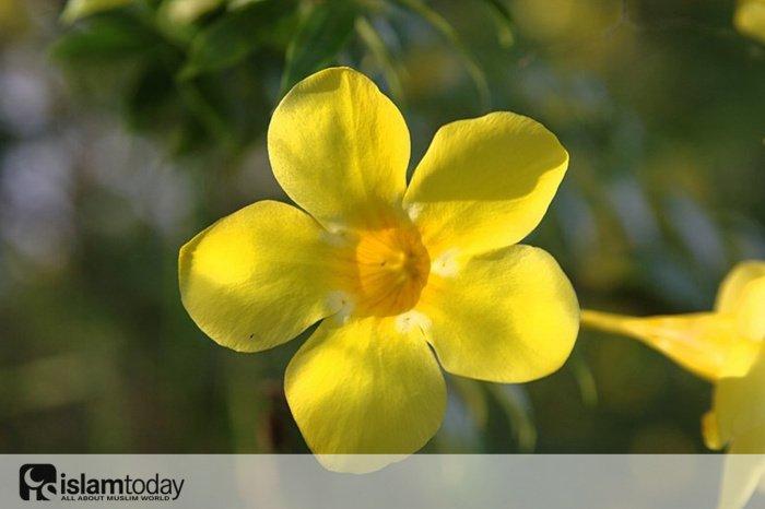 Цветок Азана