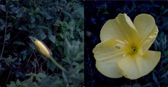 Знамения Аллаха: цветок, раскрывающийся только во время азана (+ВИДЕО)