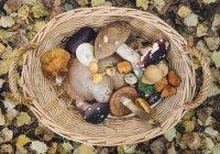 Россиянам рассказали, как правильно собирать грибы